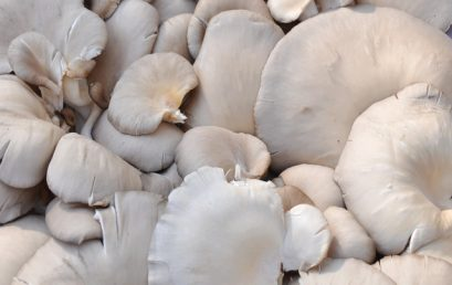 Steps for growing oyster mushrooms